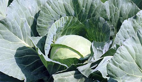 О капусте Агрессор: описание и характеристика гибридного сорта, выращивание