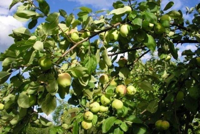О яблоне Папировка: описание и характеристики сорта, посадка и уход