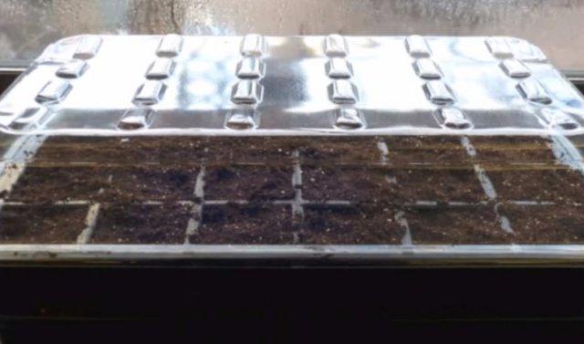 О томате Черный мавр: описание и характеристики сорта, уход и выращивание