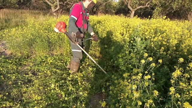 Все о выращивании и урожайности растения горчицы: как посадить и вырастить