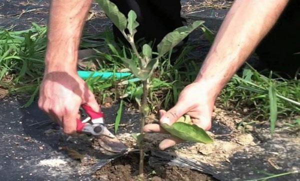 Формирование баклажанов в теплице, как правильно пасынковать кусты