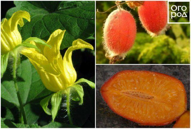 Все о видах огурцов: какие бывают (желтые, белые, черные), как выращивать