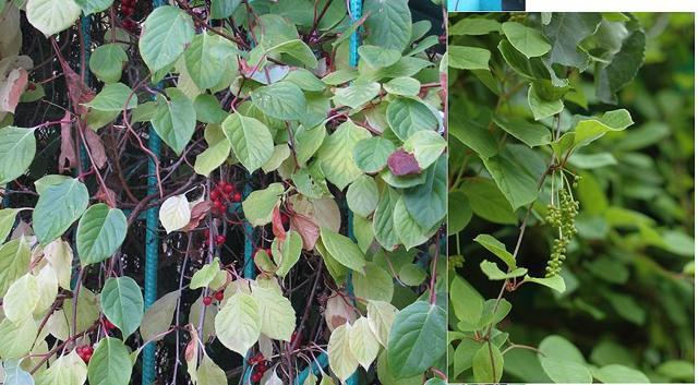 Лимонник: посадка и уход, выращивание в открытом грунте, обрезка, подкормка