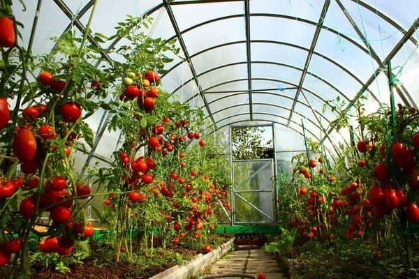 Как нужно обрезать помидоры: в теплице, в открытом грунте, схемы