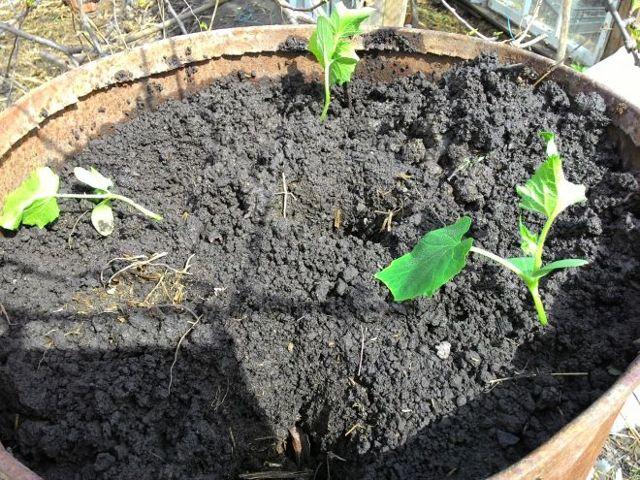 Все о посадке огурцов в бочку: как сажать и ухаживать, правила высадки рассады