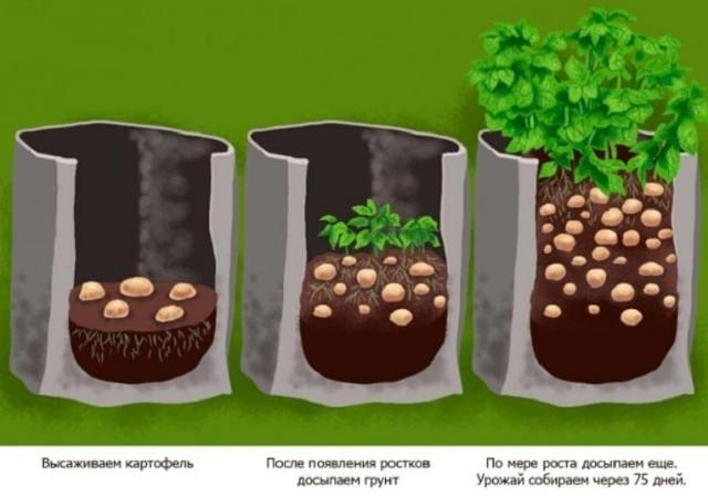 Посадка и выращивание картофеля в мешках: пошаговая инструкция, советы