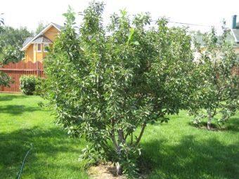 О вишне кустовой: описание и характеристики сортов, посадка и уход