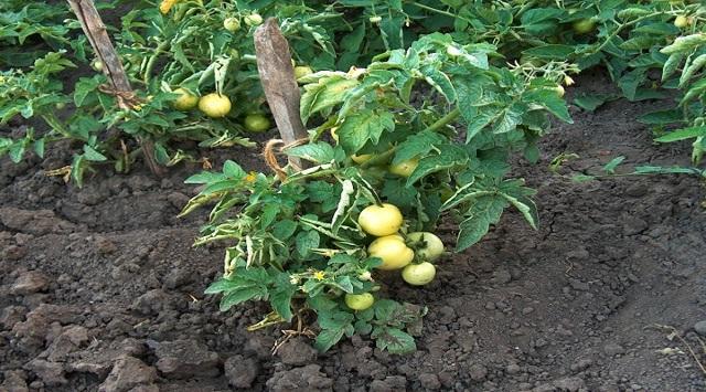 Как посадить семена помидоров, как правильно сеять томаты в грунт семенами