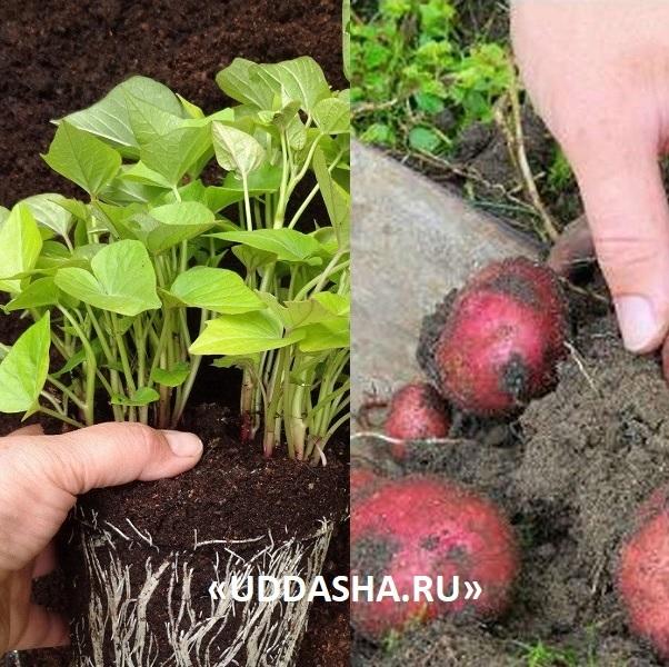 Выращивание картофеля из семян, на рассаду, в домашних условиях - советы