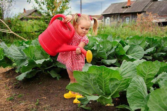 О капусте Краутман: описание сорта, как правильно высадить рассаду
