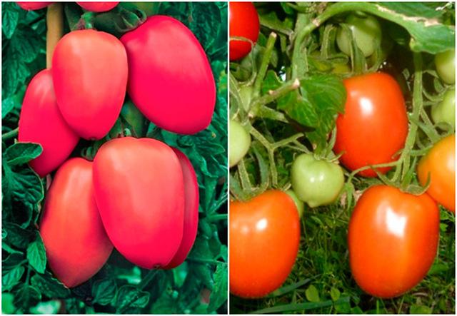 Столыпин: описание сорта томата, характеристики помидоров, посев