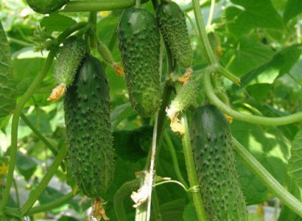 Все о сорте огурцов Изумрудные Сережки: агротехника выращивания и уход