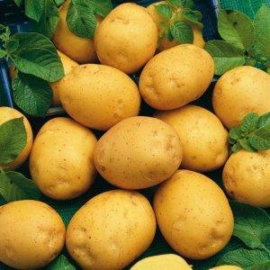Адретта: описание семенного сорта картофеля, характеристики, агротехника