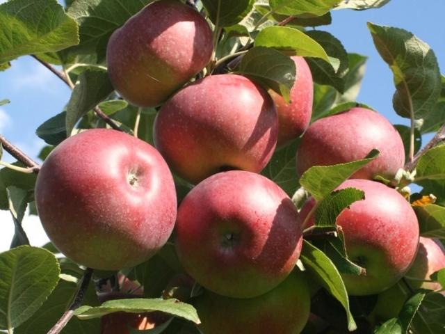 О яблоне Конфетное: описание и характеристики сорта, посадка и уход