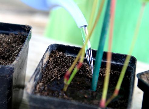 Как правильно размножить девичий виноград, уход и посадка черенков весной