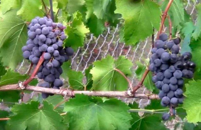 Описание сорта винограда Илья Муромец: уход, размножение, урожайность