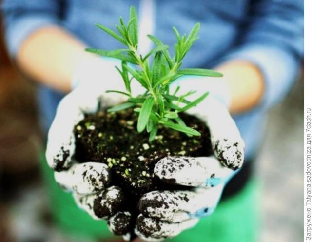 Посадка розмарина в открытом грунте в Подмосковье: выращивание и уход