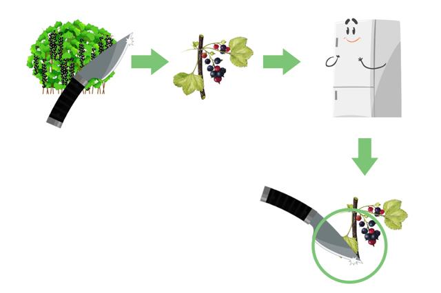 Черная смородина саженцами весной: как правильно сажать и укоренять