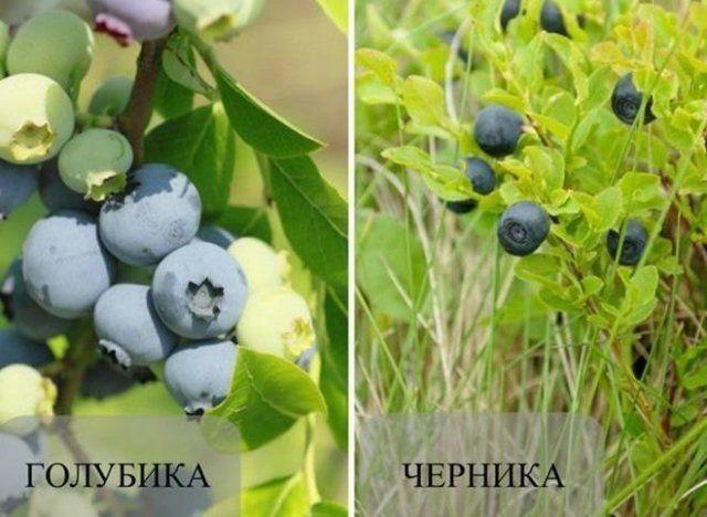 Голубика и черника: ягода, похожая на голубику, черника в разрезе