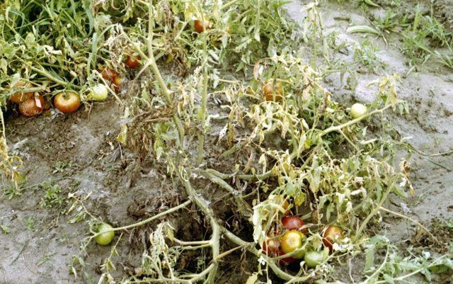 Президент: описание сорта томата, характеристики помидоров, посев