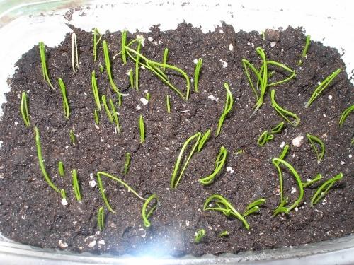 Все о выращивании индийского лука: посев и уход за растением, условия для роста