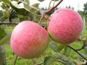 О яблоне Августа: описание и характеристики сорта, посадка и уход