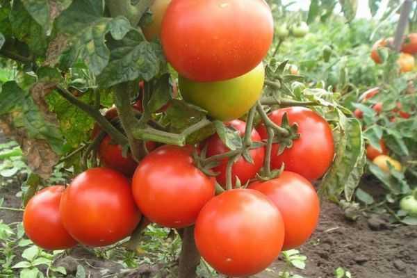 О томате Эффект: описание сорта, характеристики помидоров, посев