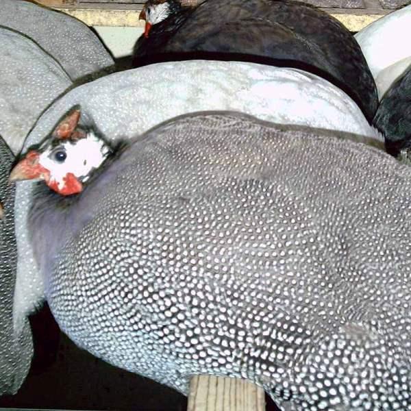 О разведении цесарок и их содержании в домашних условиях с подробным описанием