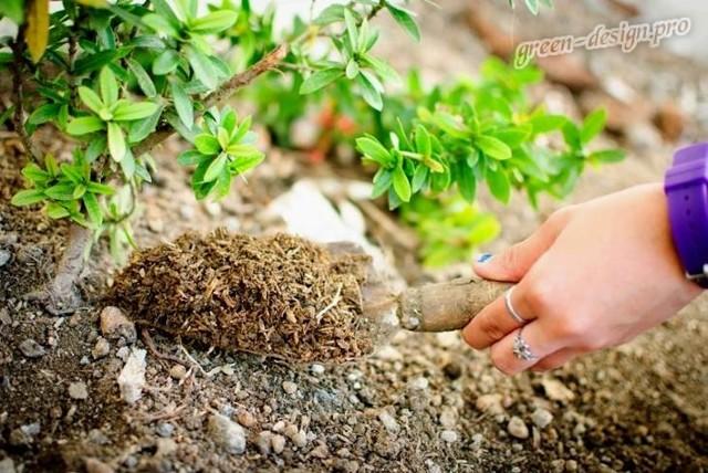 Весенняя подкормка удобрениями плодовых деревьев и ягодных кустарников