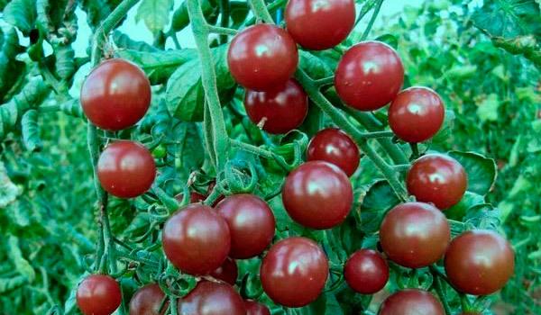 Вишня красная: описание сорта томата, характеристики помидоров, посев