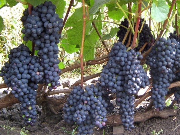 Описание сорта винограда Памяти Домбковской: преимущества, особенности