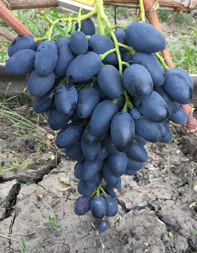 Описание сорта винограда Надежда АЗОС, характеристики плодового винограда