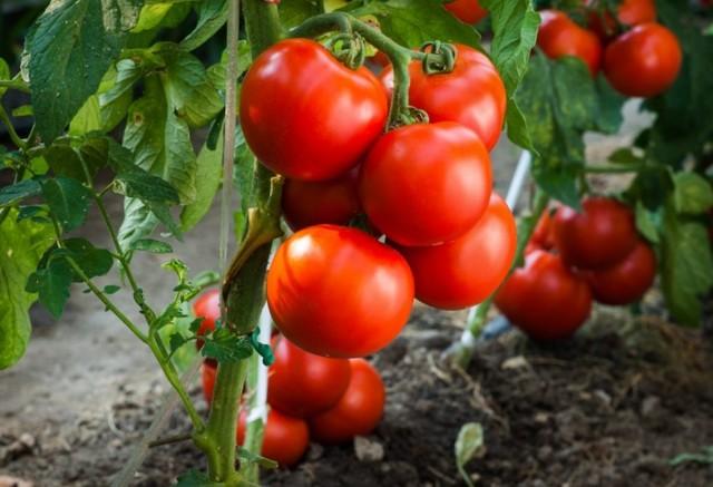 Андромеда: описание сорта томата, характеристики помидоров, посев