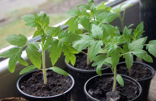 О томате Воловье сердце: характеристики сорта, уход и выращивание