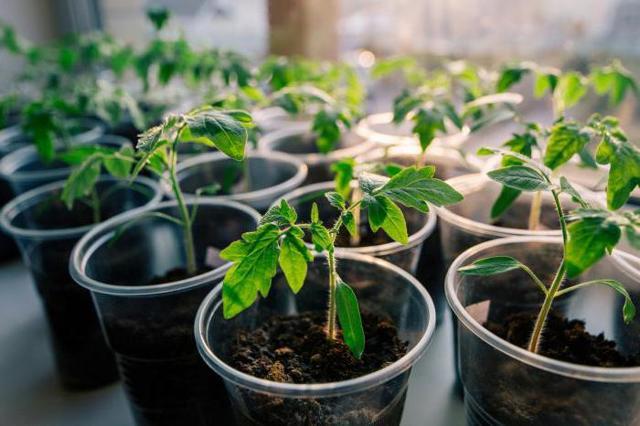 Железная леди: описание сорта томата, характеристики помидоров, посев