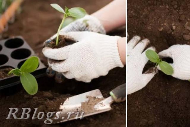 О посадке огурцов в открытый грунт рассадой: когда высаживать, на каком расстоянии
