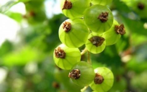 Смородина Изумрудное ожерелье: описание сорта, уход и выращивание