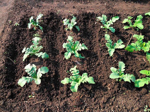 Маргеланская: описание сорта редьки, характеристики, агротехника