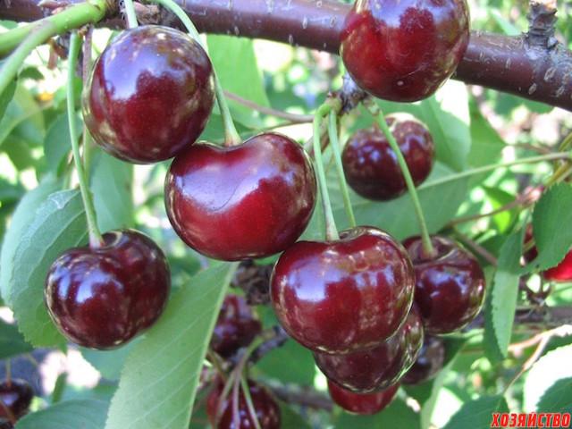 О сортах вишни для Ярославской области: какой посадить (выбрать самый хороший)