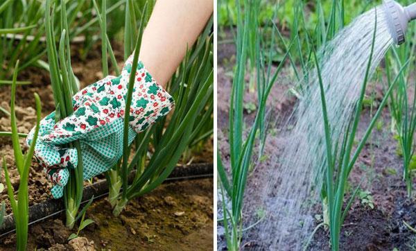 Все о сорте лука Стардаст: посадка и уход, особенности выращивания, урожайность