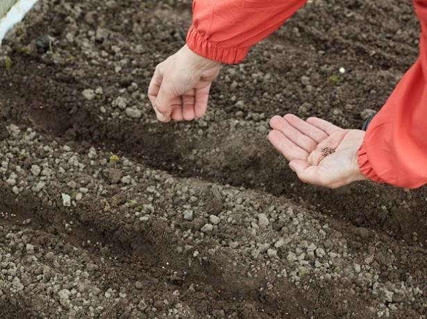 Все о времени высадки салата в открытом грунте весной: какие сорта высаживать