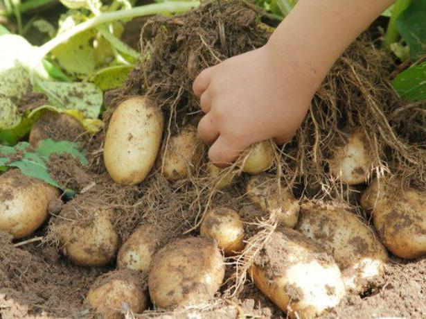 Тулеевский: описание сорта картофеля, характеристики, выращивание