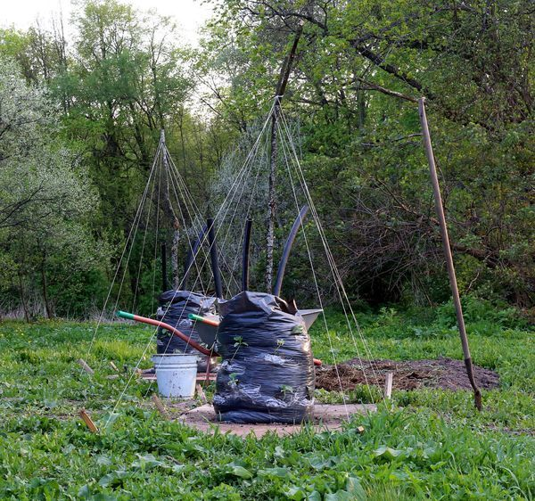 О посадке огурцов елочкой (пирамидкой) своими руками, способ выращивания