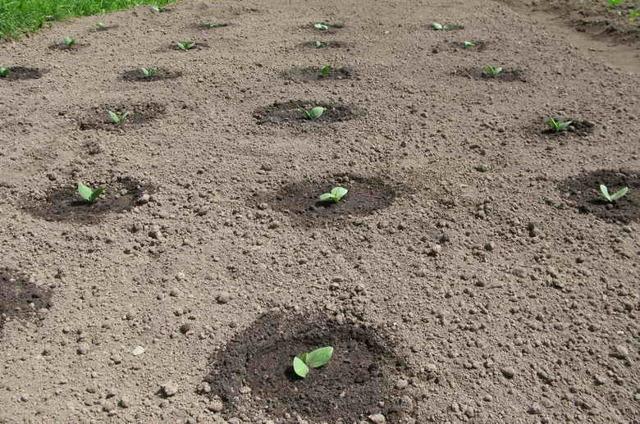 О том, как сажать кабачки: на каком расстоянии, схема посадки культуры