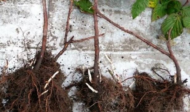 Сколько раз в жизни малина плодоносит: увеличение урожайности