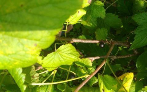 Черная смородина Катюша: описание и характеристики сорта, уход и выращивание