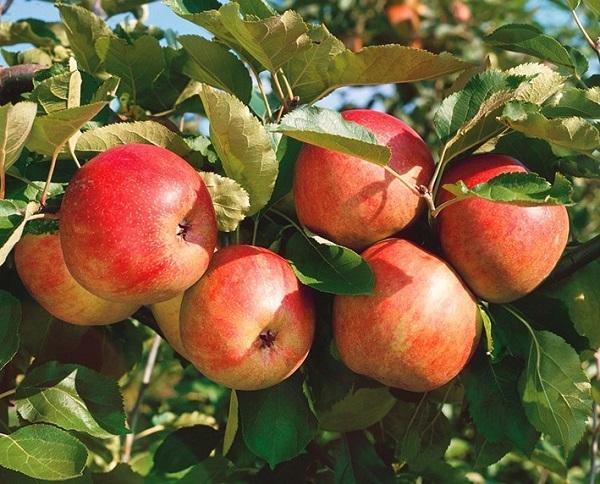 О яблоне Летнее Полосатое, описание сорта, характеристики, как выращивать