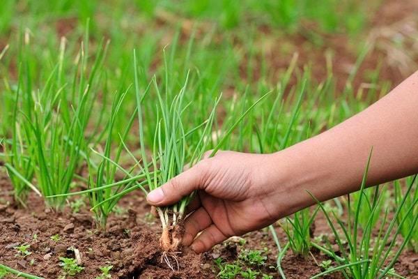 Все о выращивании лука севка: посев и уход за растением, мульчирование