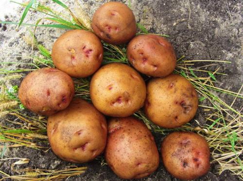 Свитанок киевский: описание сорта картофеля, характеристики, агротехника