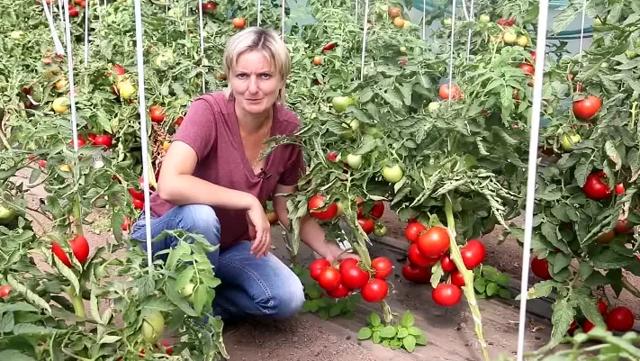 О томате Большая мамочка: характеристики сорта, уход и выращивание